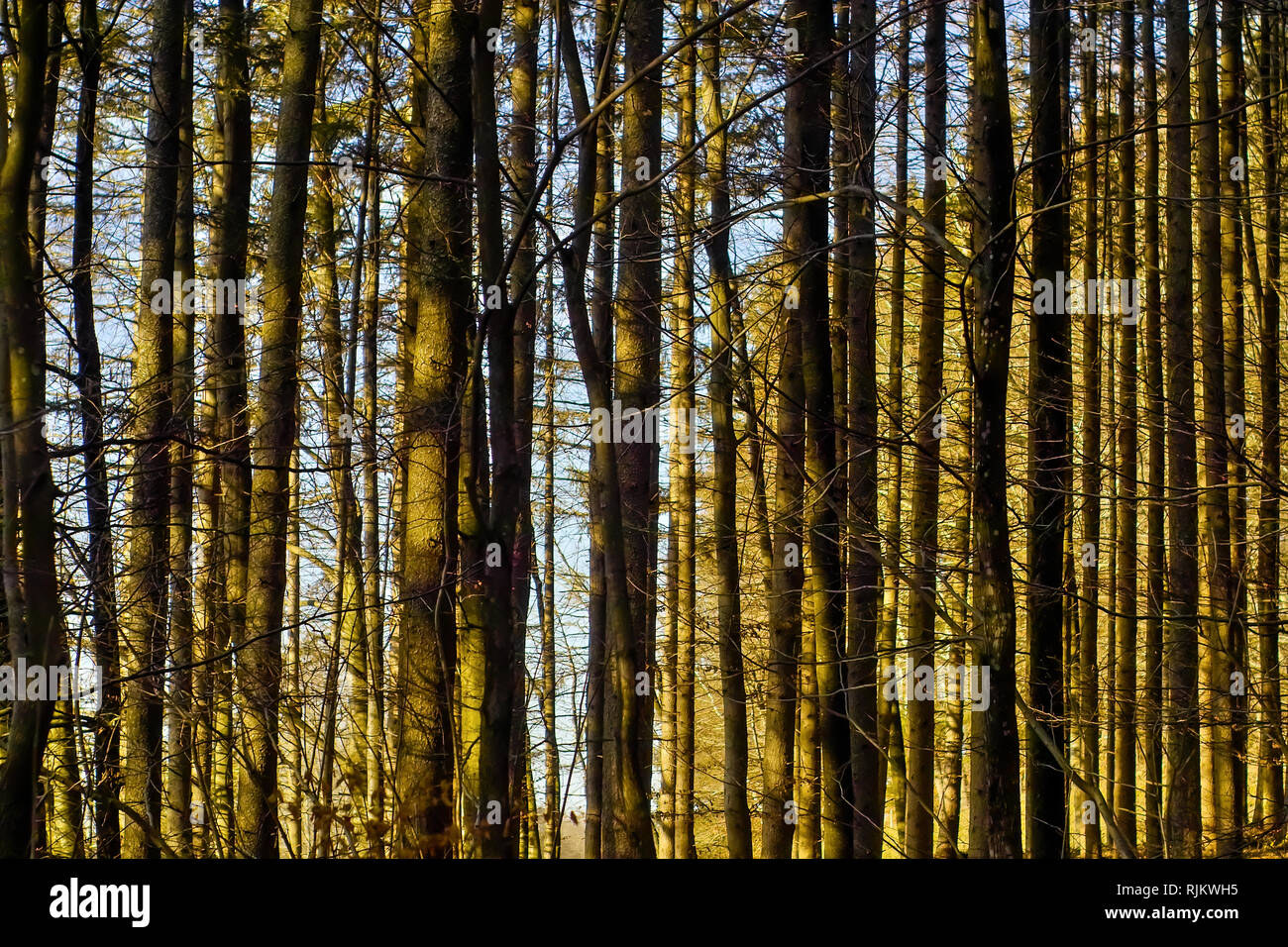 Spring awakening, trunks in a coniferous forest after winter, spruces, firs - Stock Image