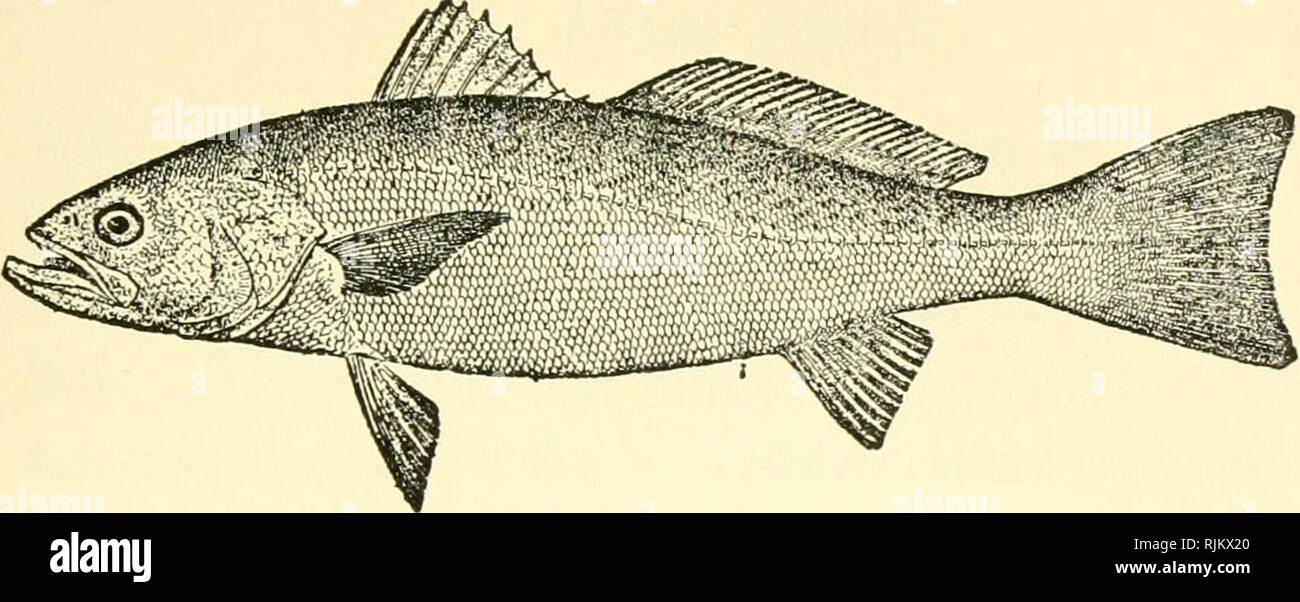 The Weakfish Or Squeteague Stock Photos & The Weakfish Or