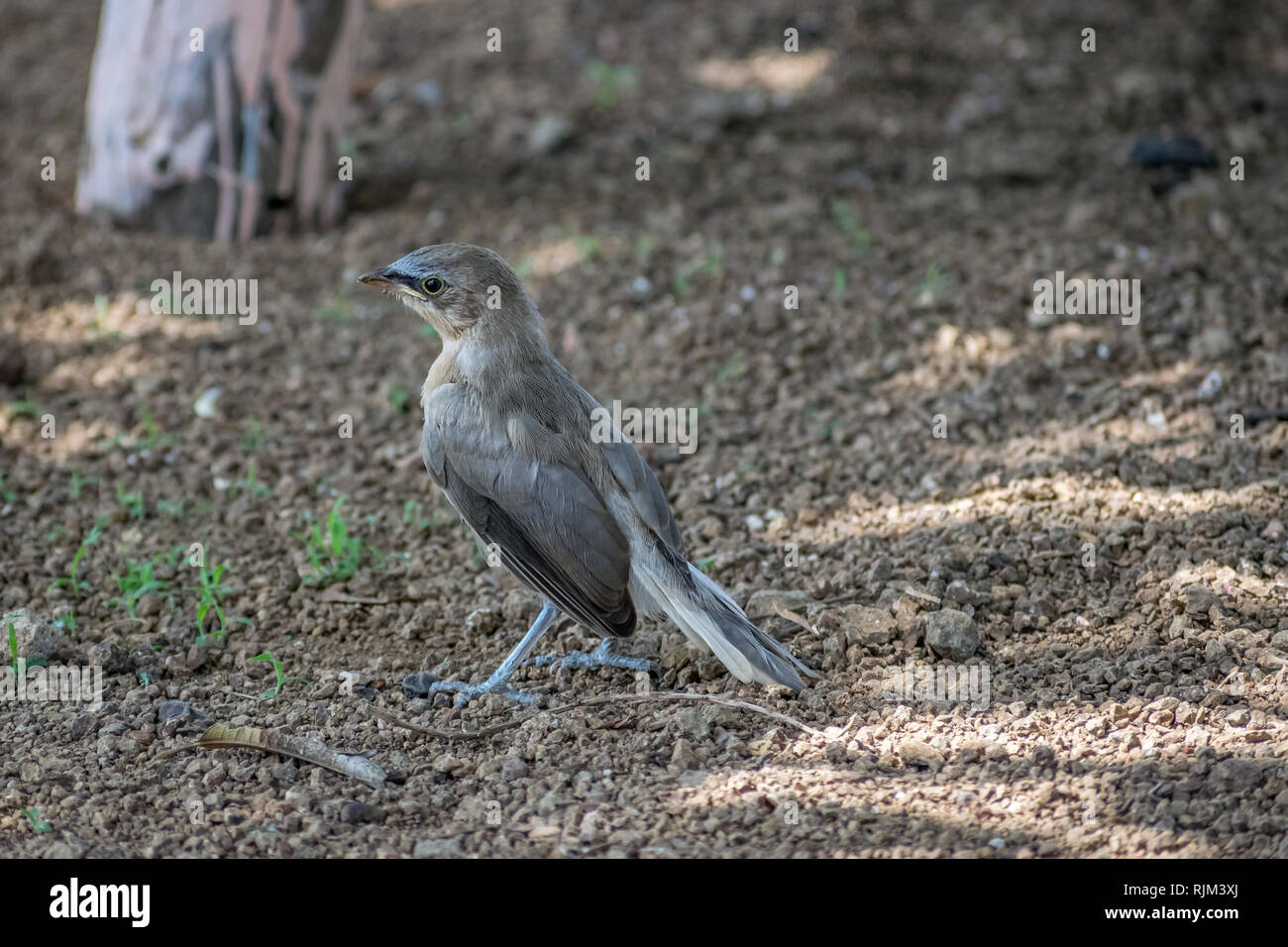 Long tailed sitting,Indian Robin or Copsychus fulicatus is a species of bird in the family Muscicapidae. Photographed in Sasan gir, Gujrat, India. - Stock Image