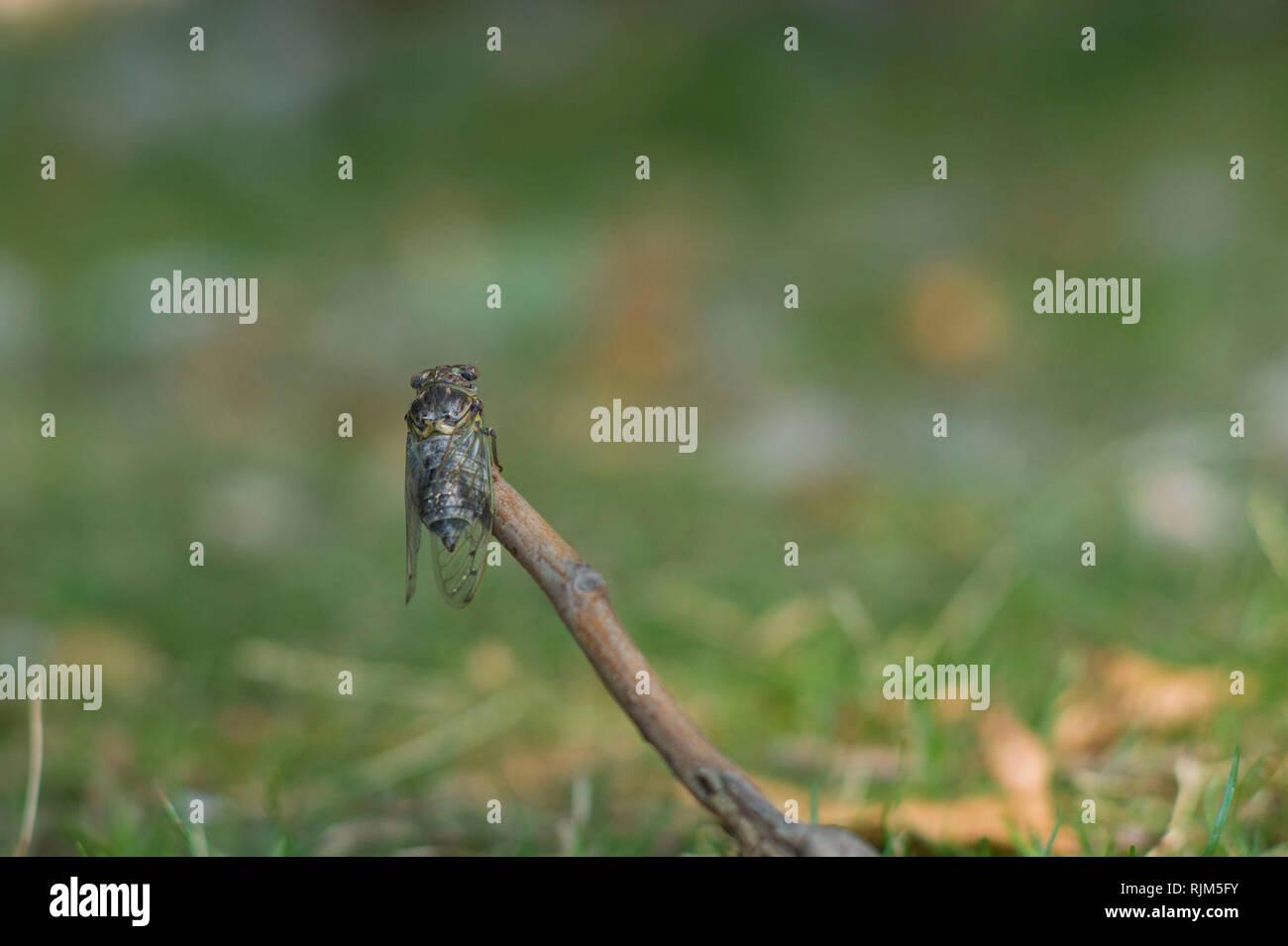 Cicada  ( Cidada orni ) emerging in summer on the island of Cres Croatia Stock Photo