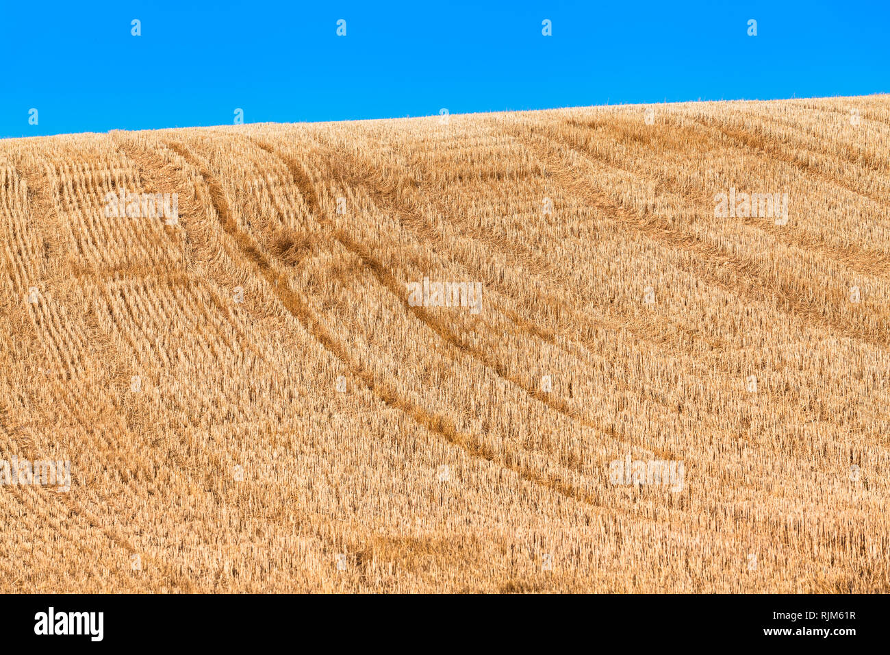 Golden harvested hilly field of grain, short cut stubbles, vehicle tracks uphill, blue sky background (copy space) Stock Photo