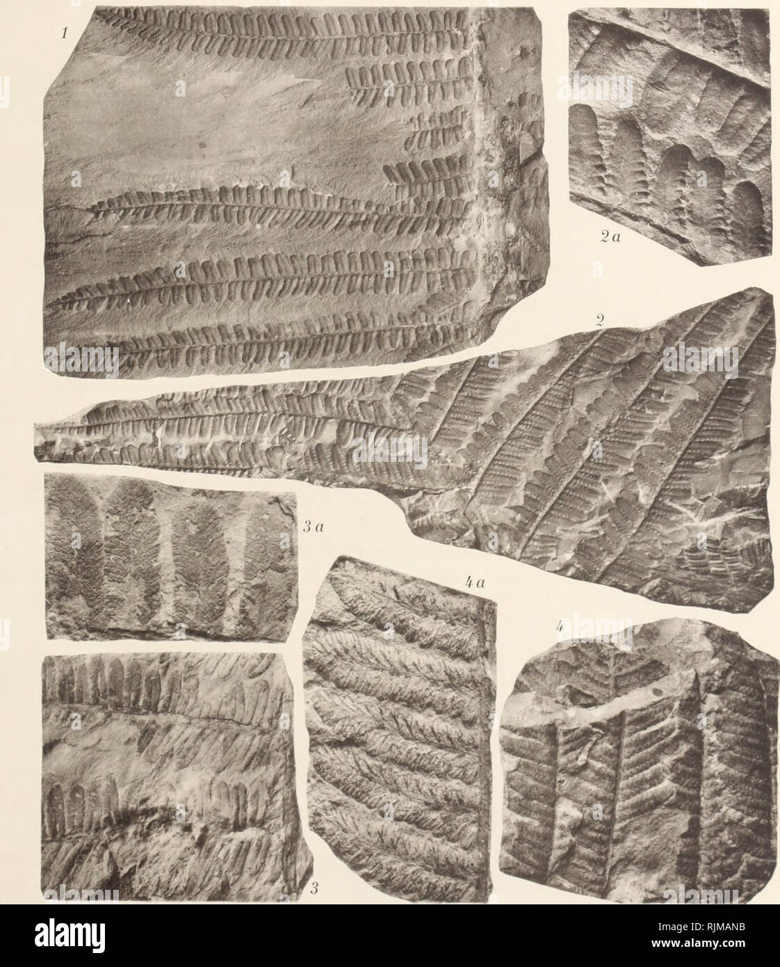 . Bassin houiller et permien de Blanzy et du Creusot. Coal; Coal; Coal; Coal; Plants, Fossil; Plants, Fossil; Geology; Geology. Pl. IX.. Clichés et Phototypie Soliier et O. il Chaiïipigny-Slir-Maroe. Please note that these images are extracted from scanned page images that may have been digitally enhanced for readability - coloration and appearance of these illustrations may not perfectly resemble the original work.. Delafond, Frédéric, 1842-1933; Zeiller, R. (René), 1847-1915. Paris, Imprimerie nationale - Stock Image