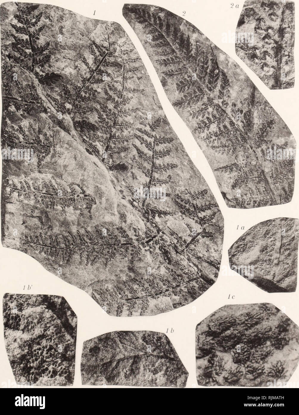 . Bassin houiller et permien de Blanzy et du Creusot. Coal; Coal; Coal; Coal; Plants, Fossil; Plants, Fossil; Geology; Geology. Pl. 11. Clichés et Phototypie Sohier el O. a ChMinpigiiv-sur-Miirn.. Please note that these images are extracted from scanned page images that may have been digitally enhanced for readability - coloration and appearance of these illustrations may not perfectly resemble the original work.. Delafond, Frédéric, 1842-1933; Zeiller, R. (René), 1847-1915. Paris, Imprimerie nationale - Stock Image