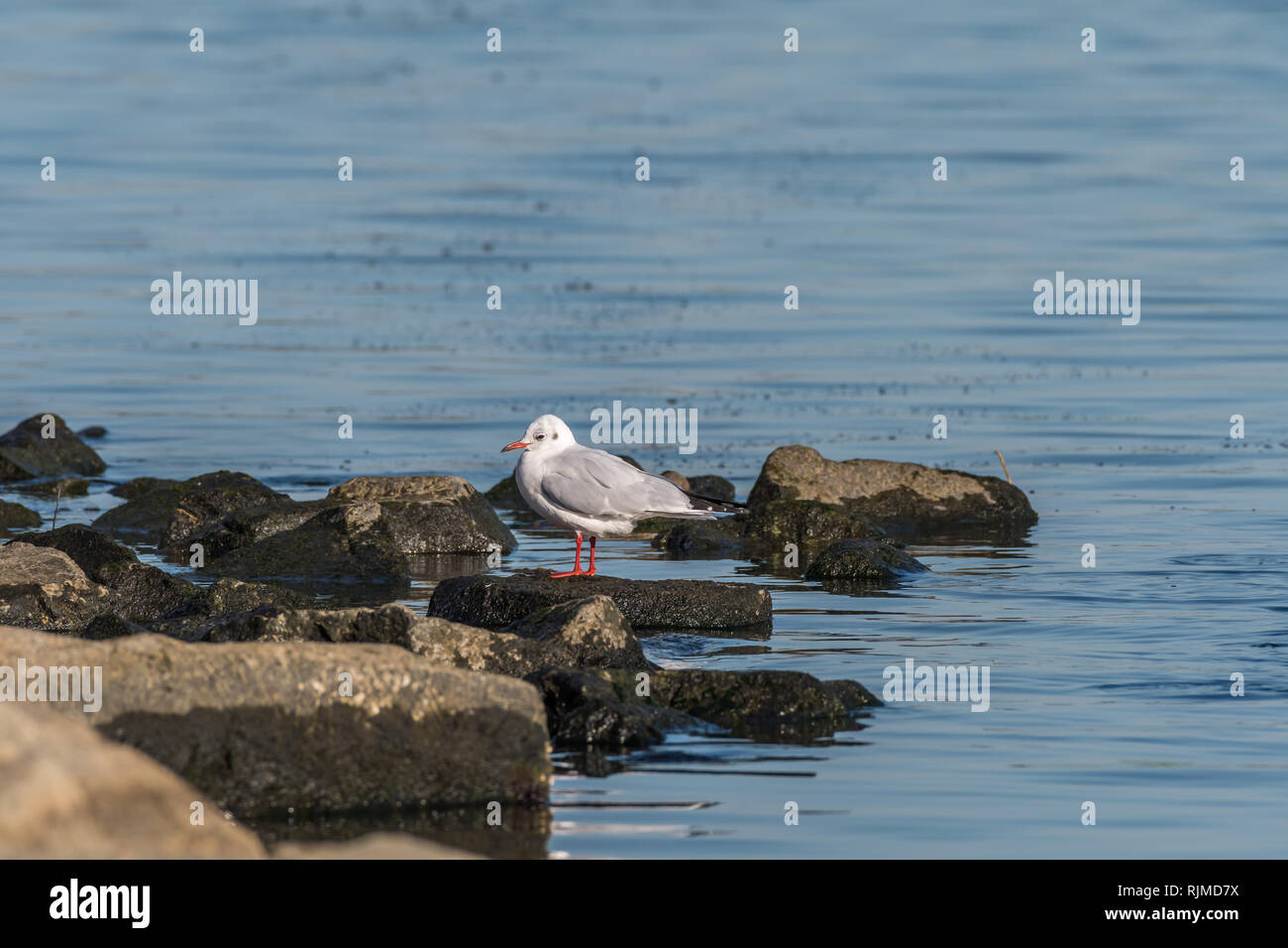 Black-headed Gull [Larus ridibundus], adult winter plumage, commonly spotted in Pohang, South Korea Stock Photo