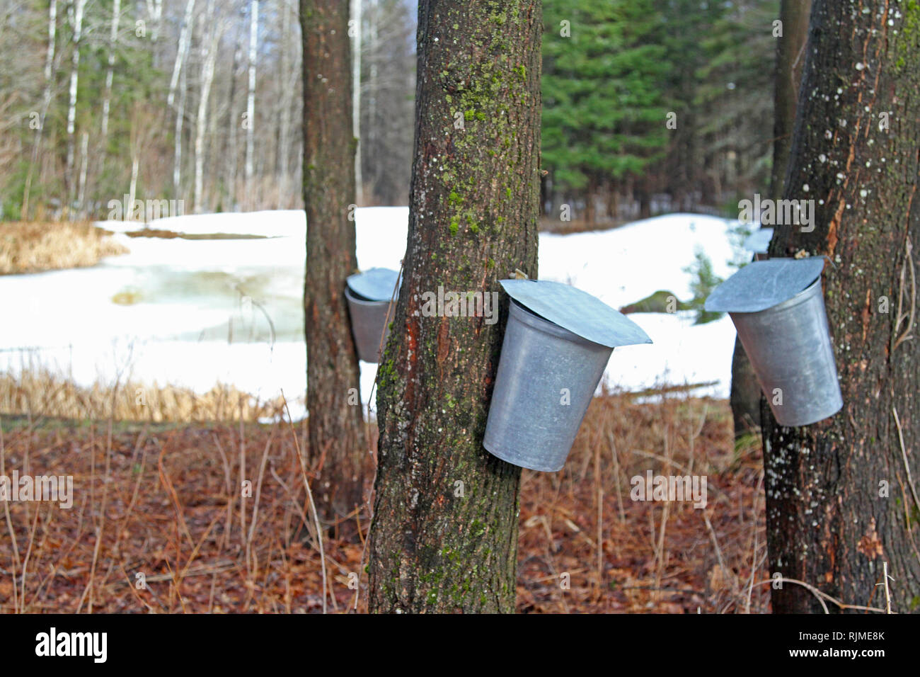Closeup of aluminum buckets collecting sap for maple syrup production - Stock Image