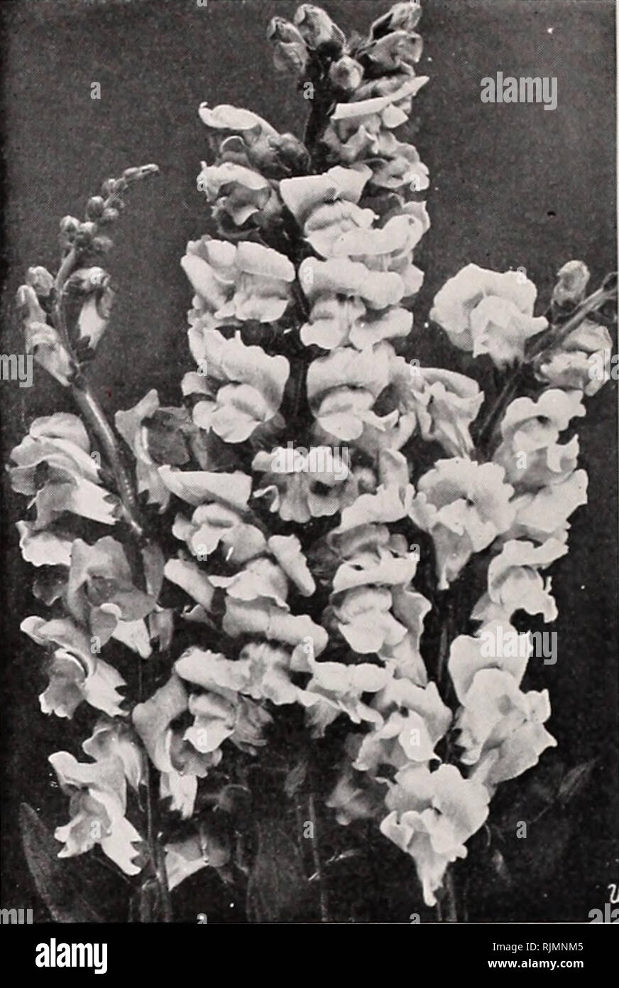 . Beckert's bulbs. Nurseries (Horticulture) Pennsylvania Pittsburgh Catalogs; Nursery stock Pennsylvania Pittsburgh Catalogs; Vegetables Seeds Pennsylvania Pittsburgh Catalogs; Flowers Seeds Pennsylvania Pittsburgh Catalogs; Bulbs (Plants) Pennsylvania Pittsburgh Catalogs. Flower Seeds for the Greenhouse Antirrhinum (Snapdragon) hhp Now grown as extensively under glass as in the garden. Snapdragons bloom to perfection indoors and require no more care than Geraniums. With only ordinary treatment and temperature, they will flower in from four to six months from the time the seed is sown. About 8 - Stock Image