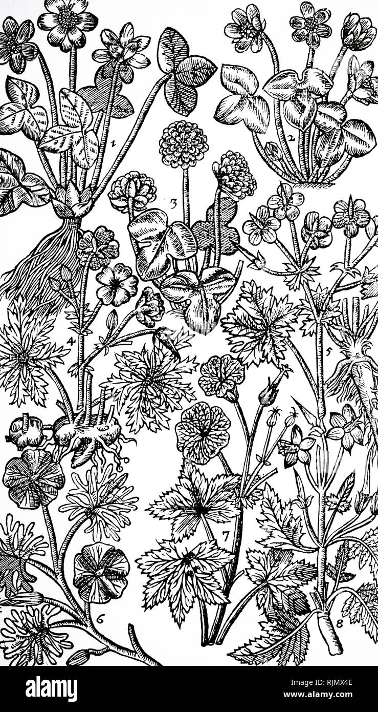 Woodcut showing: Varieties of Hepatica (Liverwort) 1,2,3 and Geranium. The leaves of Hepatica were thought to resemble the liver, and were used to 'cooled and strengthen' that organ (DOCTRINE OF THE SIGNATURES or treating like with apparently like). Geraniums were 'a singular remedie against the Stone both in the reines (kidneys) and bladder'; Camerarius. From John Parkinson Paradisi in Sole Paradisus Terrestris, London 1629 - Stock Image