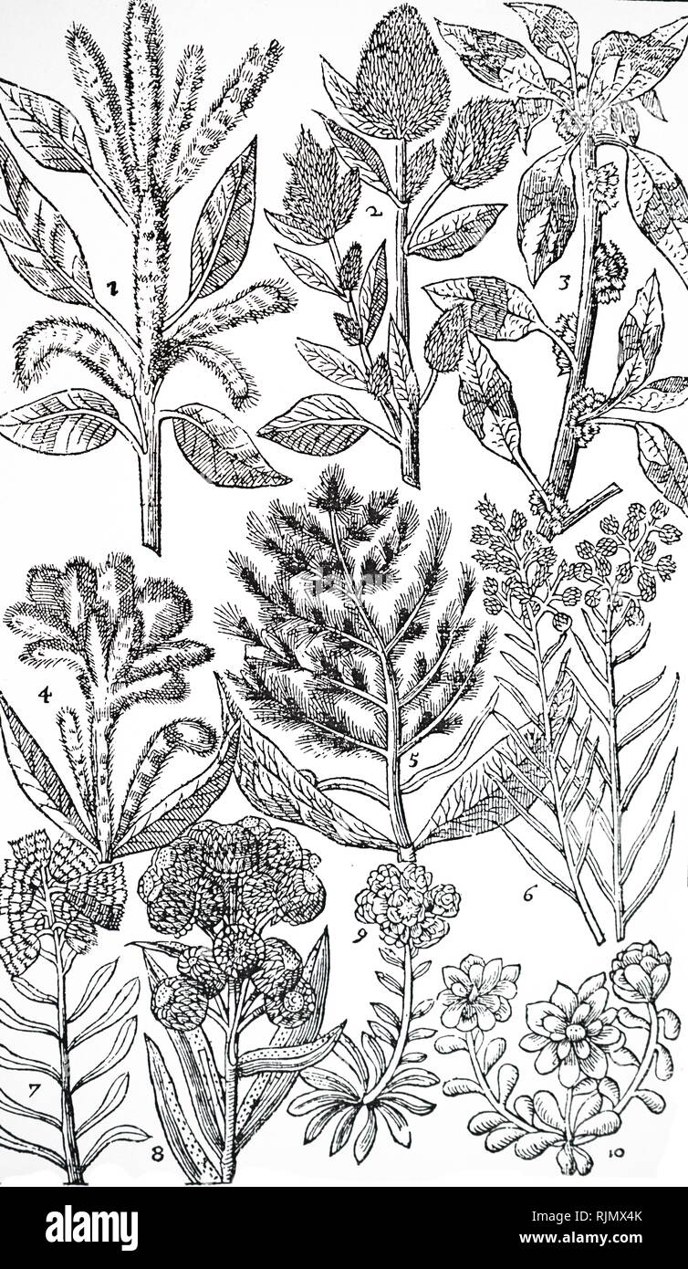 An engraving depicting An engraving depicting 1 - 5: Varieties of Amaranthus. 'Diverse suppose the flowers of these plants doe help to stay the fluxe of blood in man or woman' (DOCTRINE OF THE SIGNATURES or treating like with like). 6 -10: Everlasting flowers (Helichrysum and Gnaphalium) dried for decoration and put in drawers, to discourage moths. From John Parkinson Paradisi in Sole Paradisus Terrestris, London 1629 - Stock Image