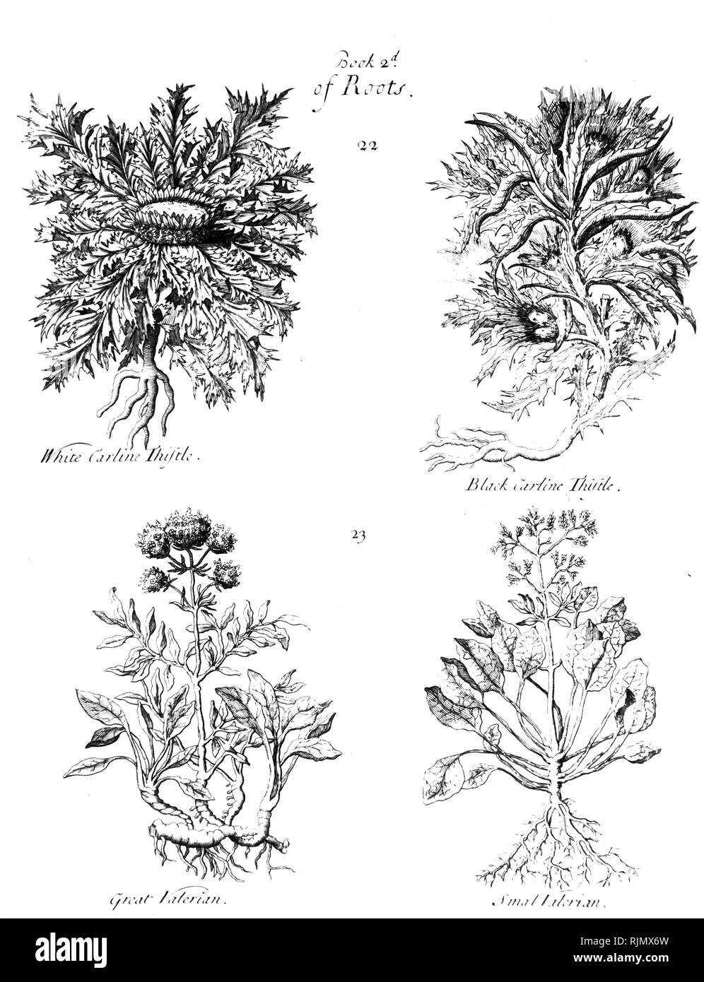 An engraving depicting White Caraline Thistle: Root used medicinally against the Plague. Revealed to Charlemagne by an angel and used to treat his army. BLACK CARLINE THISTLE Similar, but not as efficacious. GREAT VALERIAN Seeds and leaves dried and used medicinally. From P. Pomet 'A Compleat History of Drugs' 1725 - Stock Image