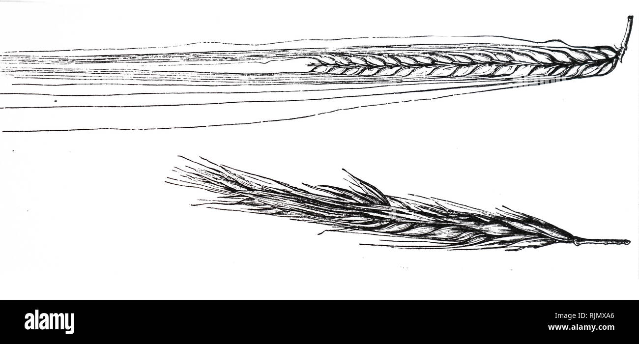 An engraving depicting an ear of Barley. Engraving published Paris 1883 - Stock Image