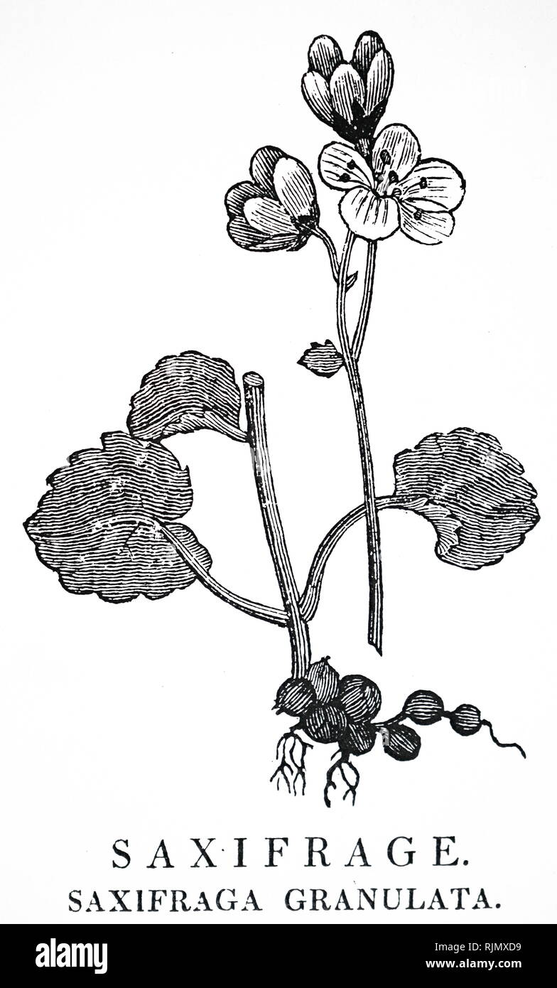 An engraving depicting SAXIFRAGE GRANULATA: Used to treat kidney stones because of the appearance of the roots. From Robert John Thornton 'A New Family Herbal'. London, 1810. An engraving by Thomas Bewick DOCTRINE OF THE SIGNATURES (treating like with apparent like) - Stock Image