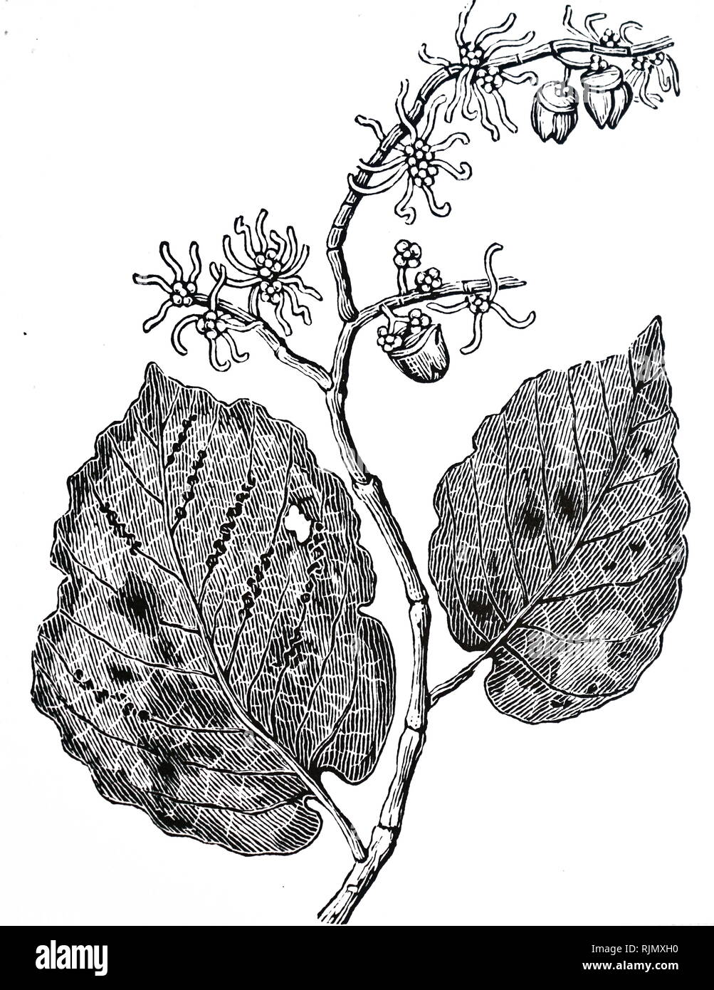 An engraving depicting WITCH HAZEL (Hamamelis Virginica). An astringent, used to treat uterine haemorrhage, piles, throat and bronchial infections, 1886. - Stock Image