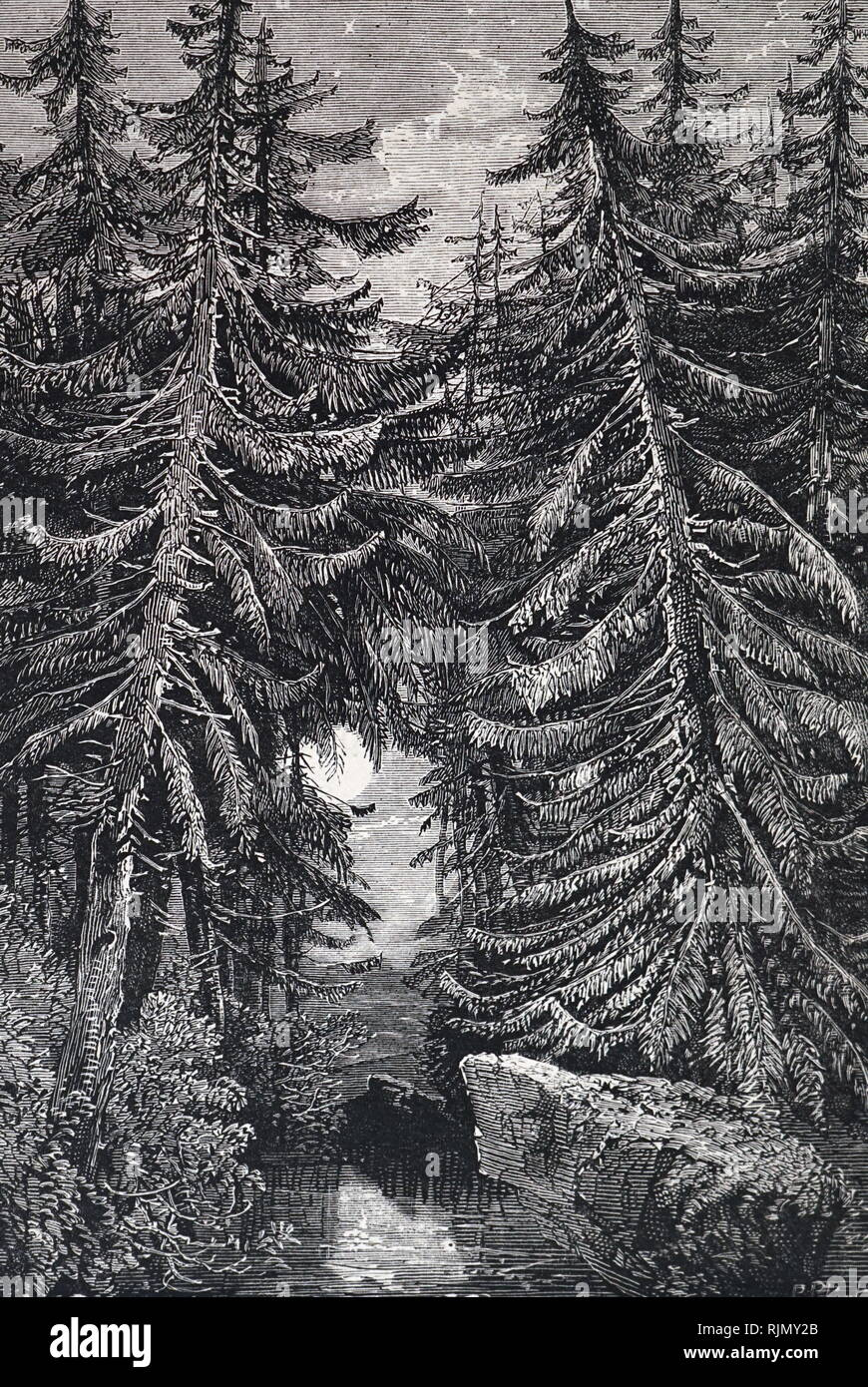 An engraving depicting Fir trees. An engraving by Richard Principal Leitch, 1874 - Stock Image