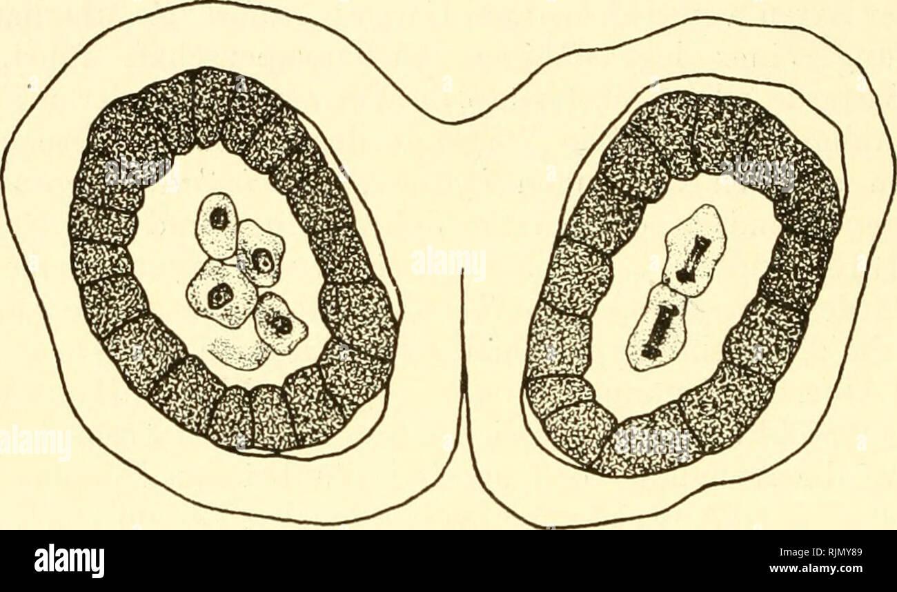 . Bastardierung als Ursache der Apogamie im Pflanzenreich. Eine Hypothese zur experimentellen Vererbungs- und Abstammungslehre. Apogamy; Hybridization. 294 Achtes Kapitel. Woher alle diese Sterilitätsersclieinungen rühren, was die Ur- sache des besonderen Verhaltens der einzelnen Bastarde ist, ist noch nicht bekannt. Besonders naheliegend war, einen Aufschluß hierüber von cytologischen Untersuchungen über den Verlauf der Geschlechtszellenbildung zu erwarten. Über die Cytologie von Angiospermenbastarden liegt eine reiche Zahl alter und neuer Untersuchungen vor. Auf ausführ- liches Eingehen auf  Stock Photo