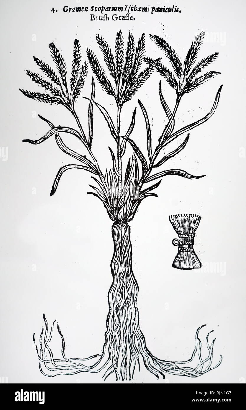 Illustration showing Brush Grass; in France the roots of this grass were used to make hairbrushes. From John Parkinson 'Theatrum Botanicum or The Theater of Plantes' London, 1640 - Stock Image