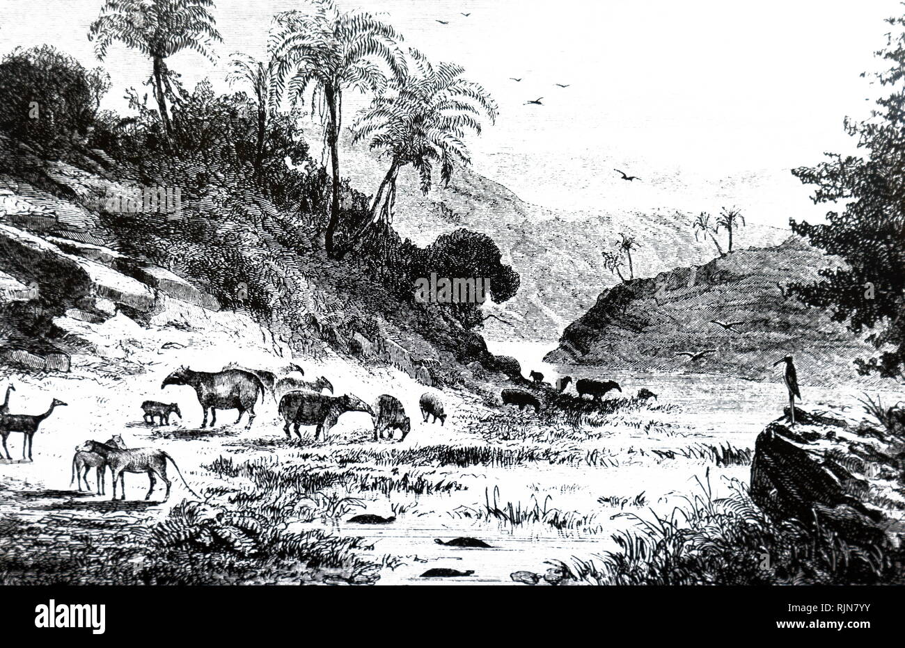 An engraving depicting an imaginary landscape during the Tertiary period, showing groups of Palaeotheria and Anoplotherium. Dated 19th century - Stock Image