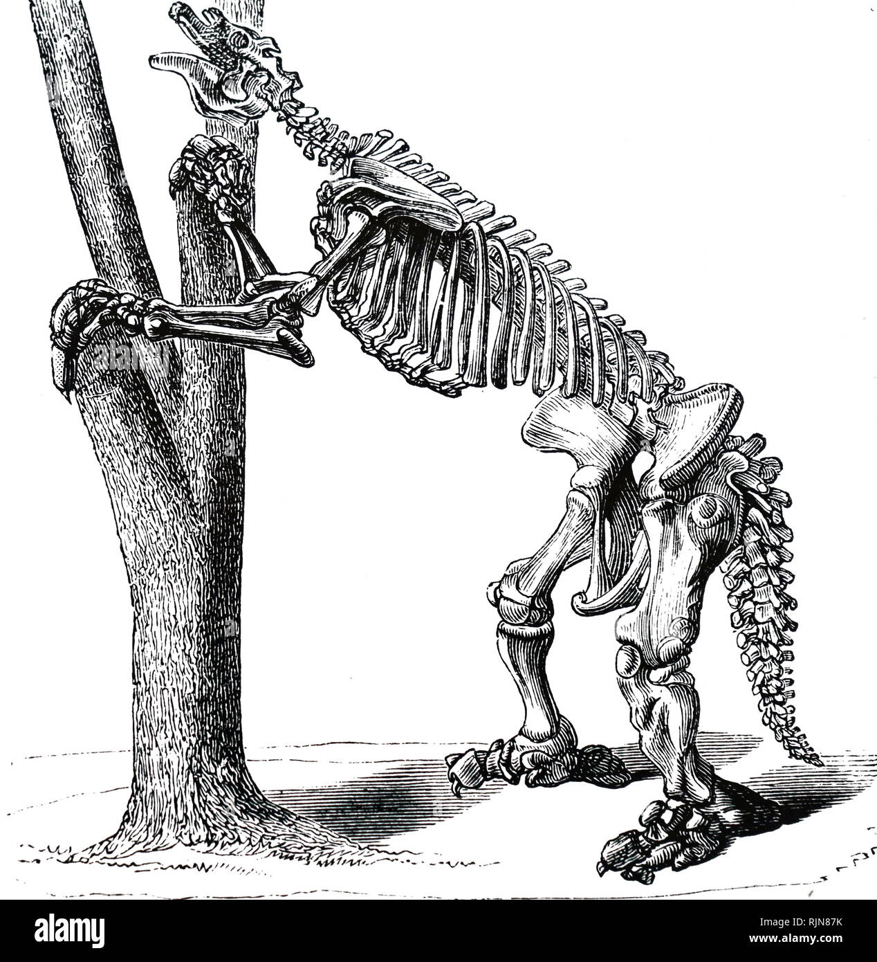 An engraving depicting the skeleton of a Megatherium (giant ground sloth) mainly South American mammals about the size of an elephant - Upper Pliocene and Pleistocene Periods. Dated 19th century - Stock Image