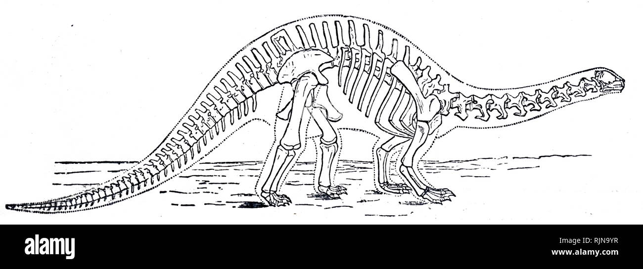 An engraving depicting the skeleton of a Brontosaurus. Dated 19th century - Stock Image