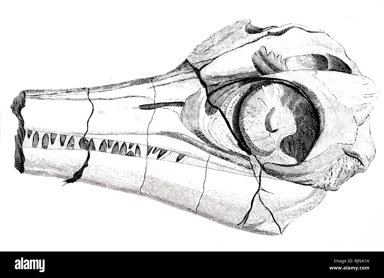 An engraving depicting part of the head of an Ichthyosaurus recovered Dated 19th century - Stock Image