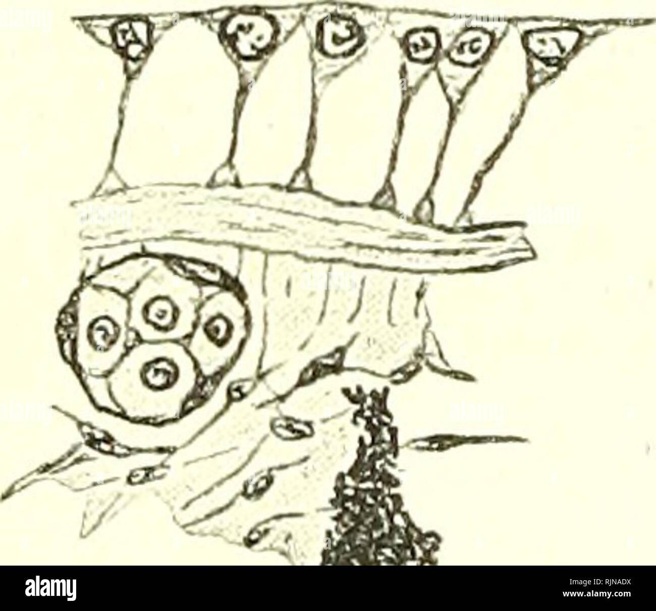 . Lehrbuch der Vergleichenden Mikroskopischen Anatomie der Wirbeltiere [electronic resource]. Vertebrates; Eye; Vertebrates; Eye. Stroma iridis. Irisendothel. 233 Vielleicht ist auch die Vaskularisation der Iris bei den Walen und Pinnipediern eine relativ starke (wie ja ähnliches vom Ciliarkörper der Zahnwale sicher gilt, S. 194), und so kommt es, daß namentlich bei diesen Tieren bei oft sehr stark reduziertem Stroma viele Gefäße mehr oder weniger frei auf der Iris liegen, d. h. jedes einzelne nur von wenigem Bindegewebe und Pigment umkleidet, ganz so wie auch das Gefäß des Linsenmuskels der T - Stock Image