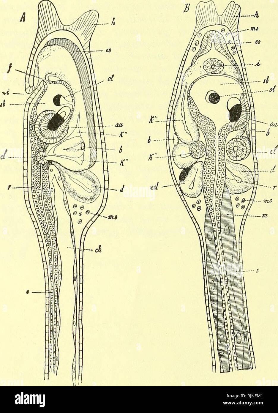 . Lehrbuch der Vergleichenden Mikroskopischen Anatomie der Wirbeltiere [electronic resource]. Vertebrates; Eye; Vertebrates; Eye. II. Die typischen Wirbeltieraugen. Vorbemerkungen. Wir erwähnten schon im vorigen Abschnitt, in welcher Weise man sich die Entwicklung des paarigen Wirbeltierauges an die Sehorgane von Amphioxus anknüpfend denken kann. Auch sagten wir schon, daß man diese Hypo- these nicht zu wörtlich nehmen wird, im wesent- lichen handelt sichs doch nur darum, daß licht- perzipierende Zellen, ursprüng- lich im Medullar- rohr gelegen, später in einer Vorstülpung des letzteren als Ee - Stock Image
