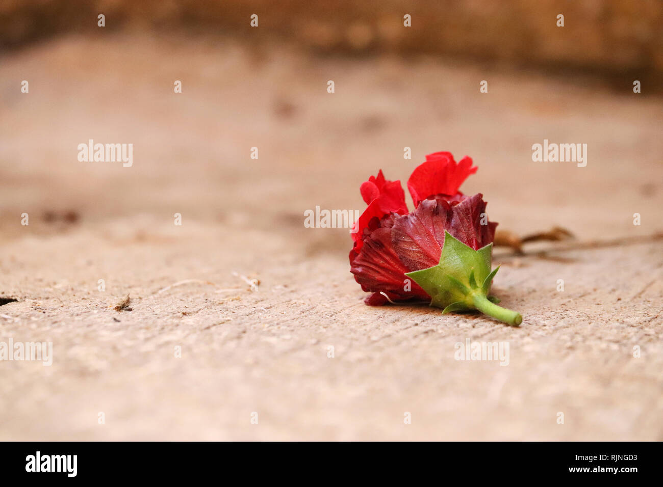 Red Hibiscus Flower - Stock Image