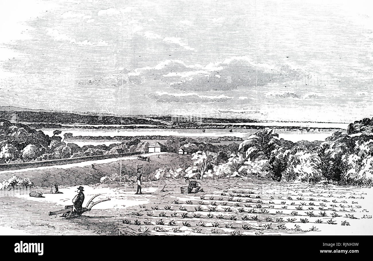 An engraving depicting the cultivation of arrowroot. Dated 19th century - Stock Image