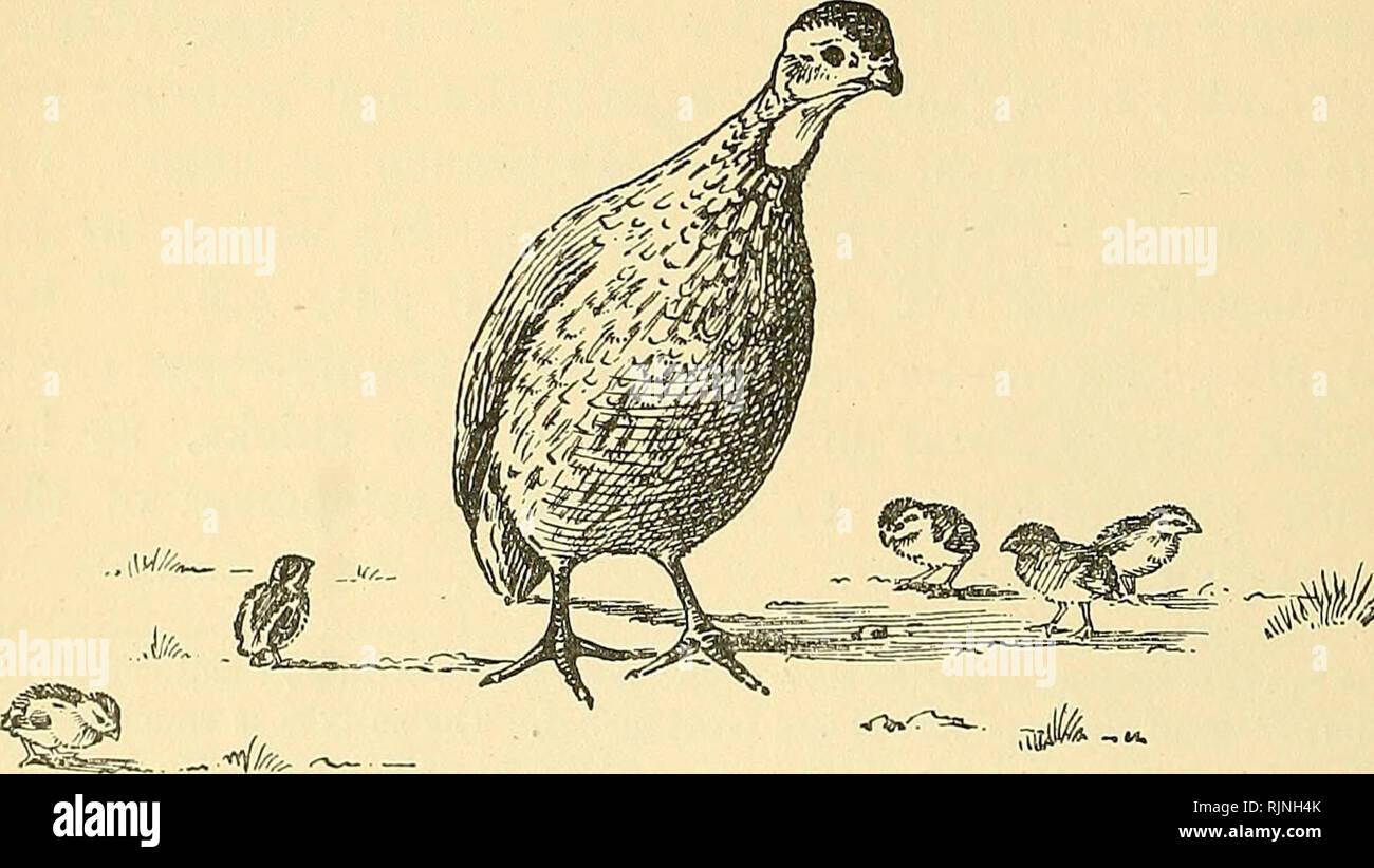 Four bare chicks