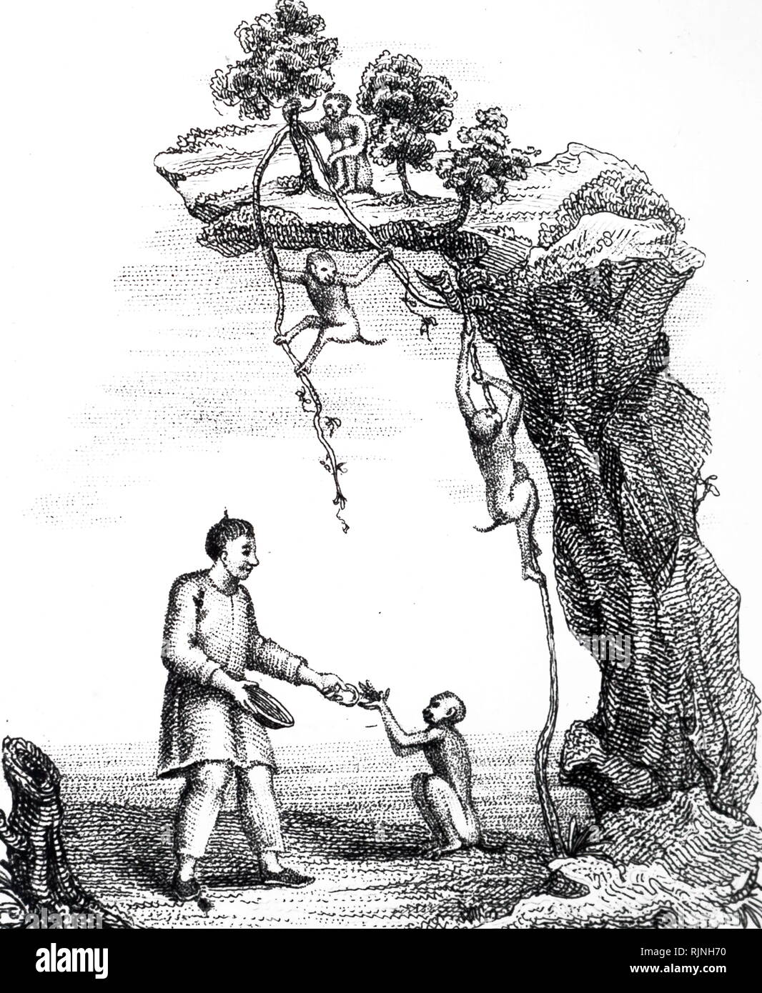 An engraving depicting trained monkeys being used to gather tea growing in inaccessible places. Dated 19th century - Stock Image