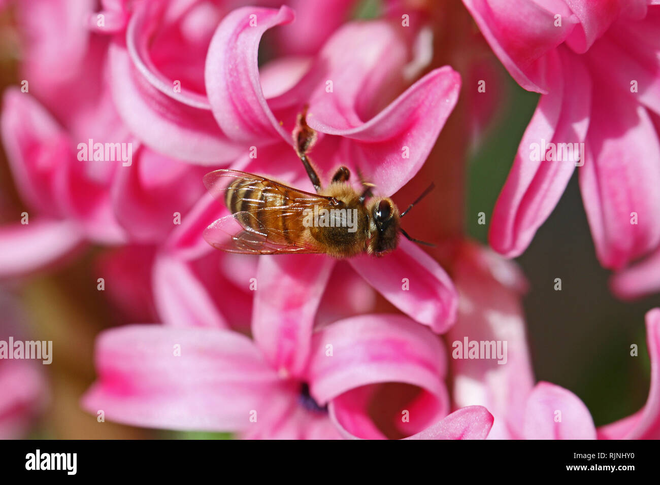 honey bee Latin apis mellifera collecting pollen on a pink hyacinth Latin hyacinthus orientalis family asparagaceae subfamily scilloideae  or bluebell - Stock Image
