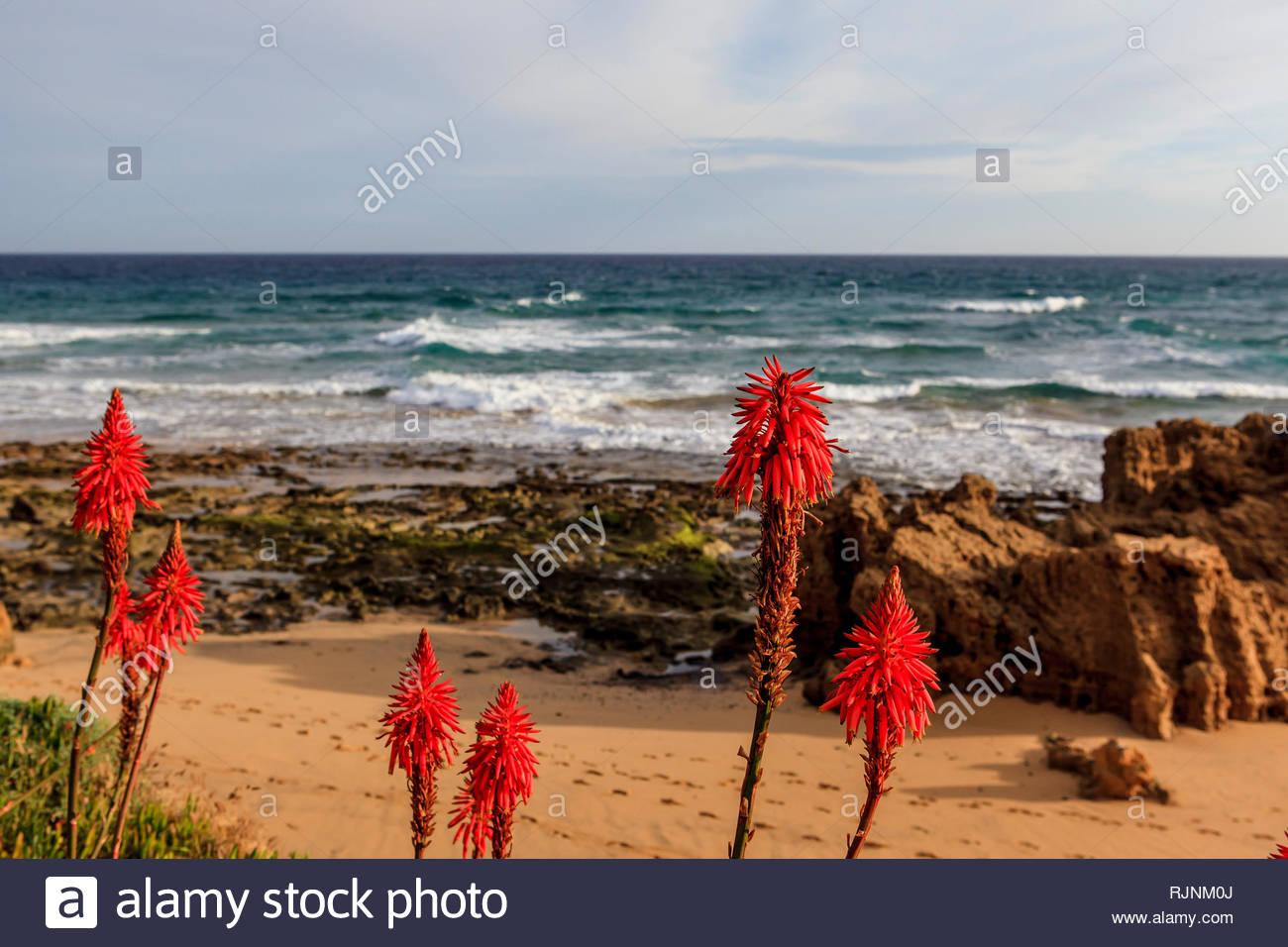 Beautiful orange flowers of the Aloe Fleshy along the coast and beaches of Porto Santo, Madeira Islands, Portugal. - Stock Image