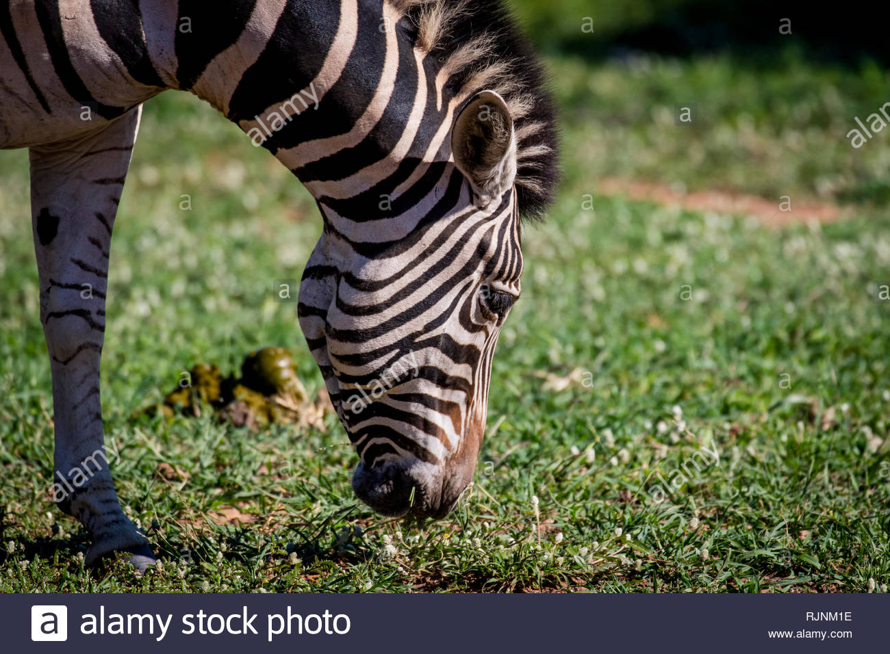 Head of a zebra eating grass in City of Tshwane, Gauteng, South Africa - Stock Image