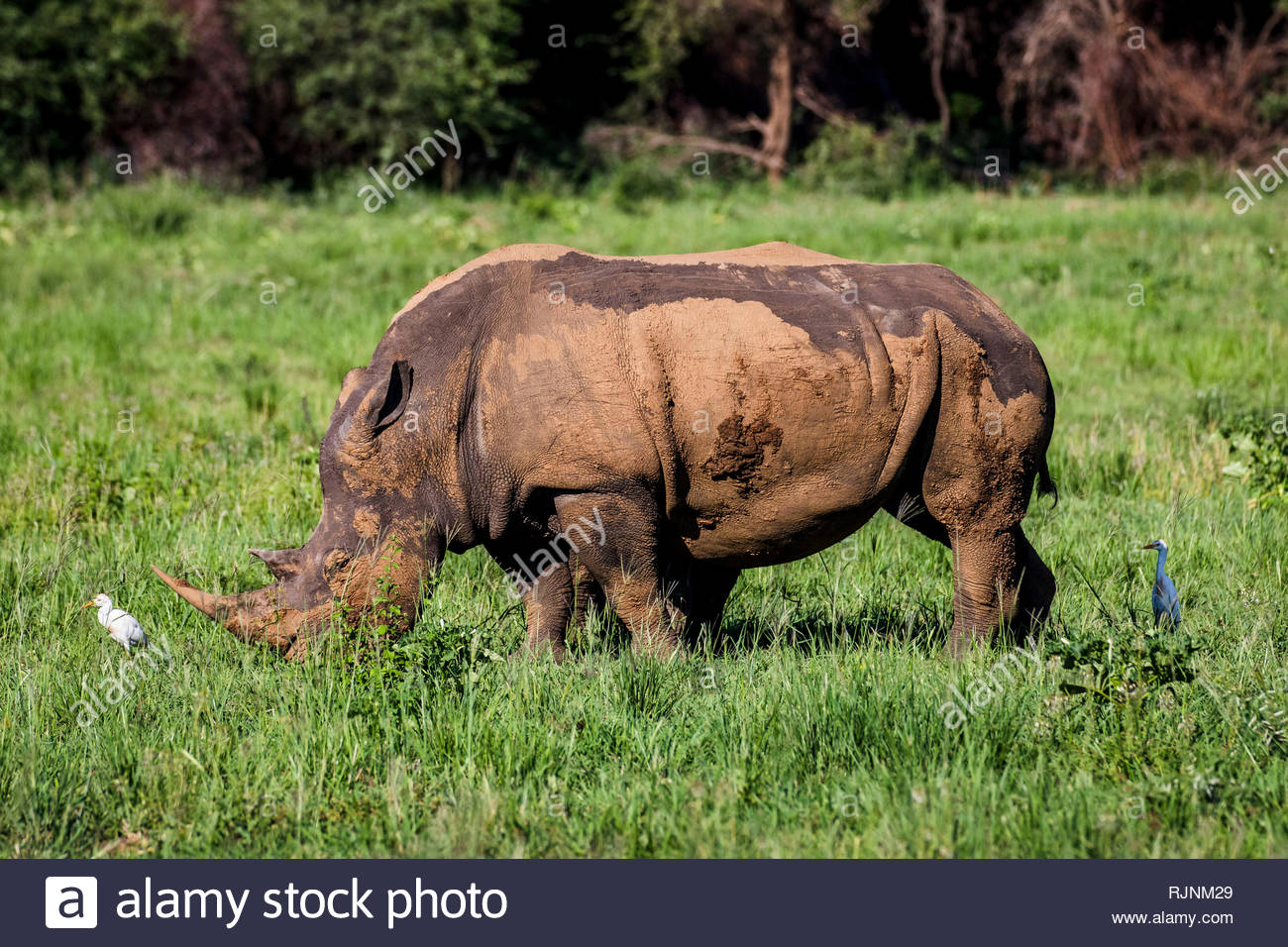 White rhino, covered in mud, eating grass in City of Tshwane, Gauteng, South Africa - Stock Image