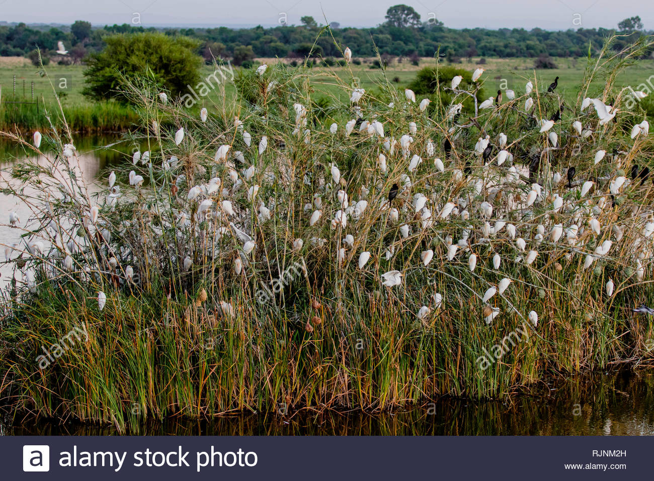Bush filled with white cattle egrets waking up in City of Tshwane, Gauteng, South Africa - Stock Image