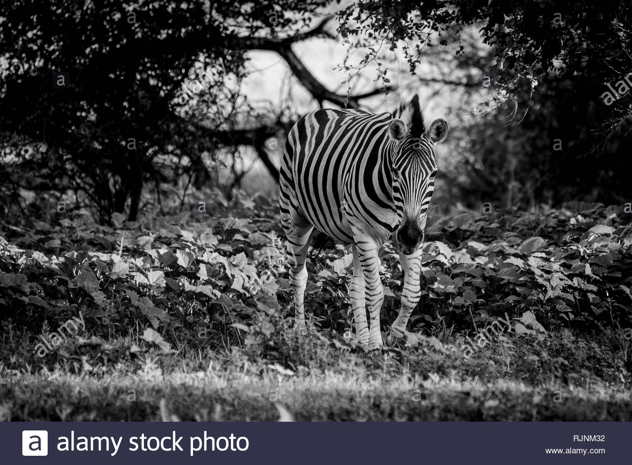 Black and white picture of a walking zebra in the bushes in City of Tshwane, Gauteng, South Africa - Stock Image