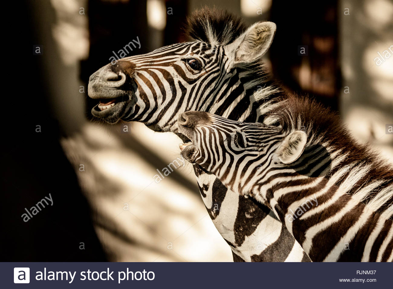 Adult zebra playing with young zebra in City of Tshwane, Gauteng, South Africa - Stock Image