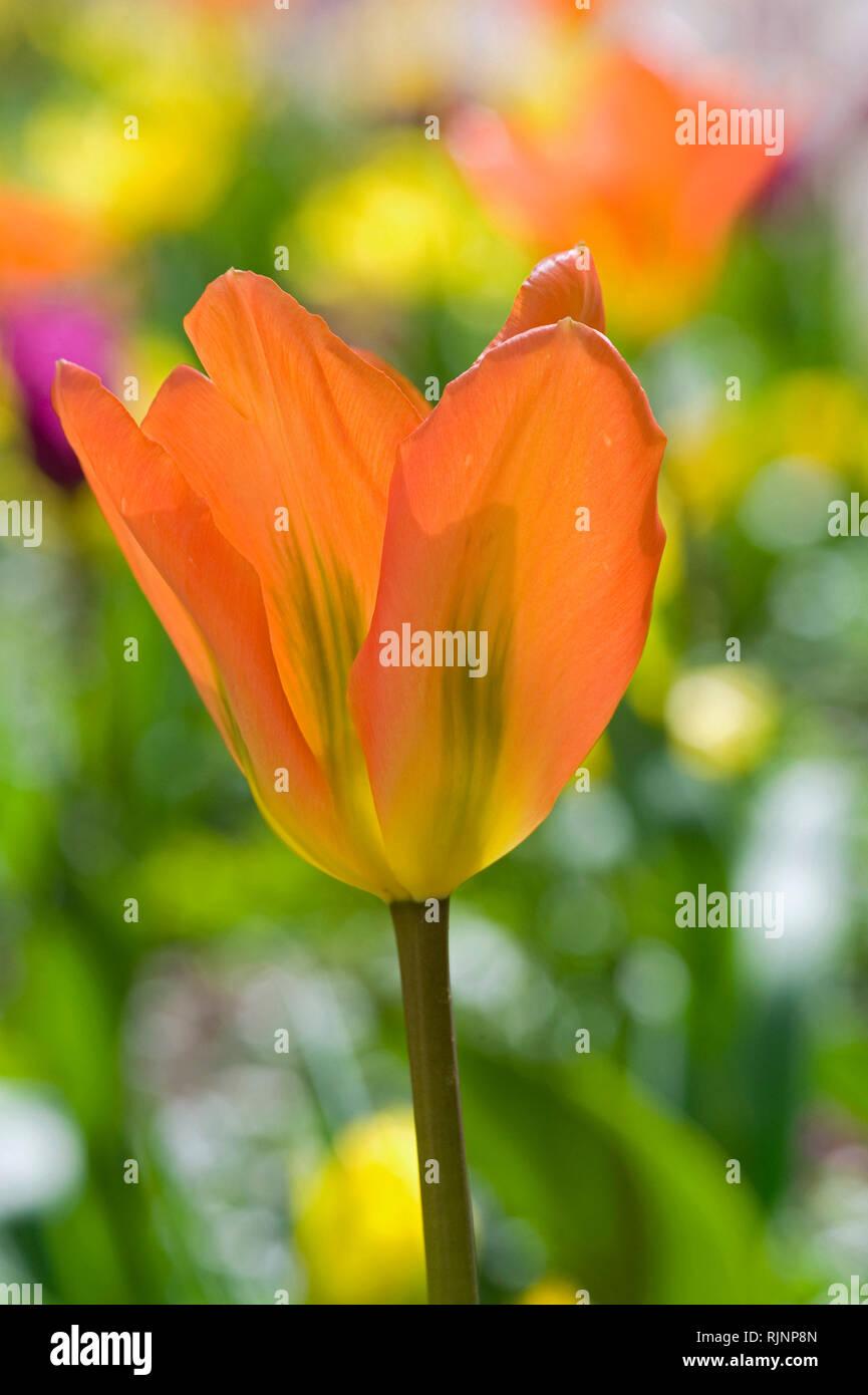 Foster tulip 'Orange Emperor' in bloom in a garden Stock Photo