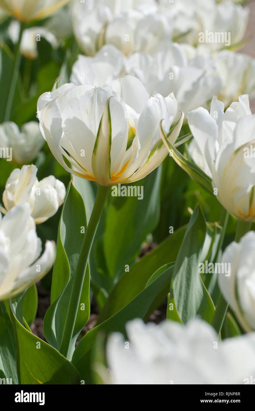 Foster tulip 'Exotic Emperor' in bloom in a garden Stock Photo