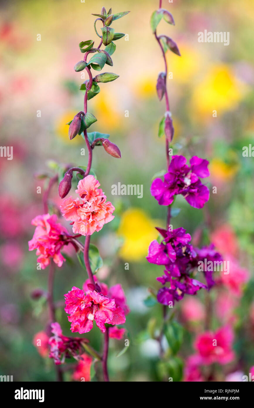 Clarkia in bloom in a garden, summer, Moselle, France - Stock Image