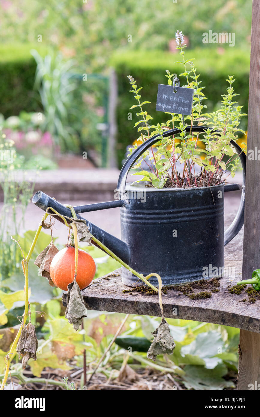 Aquatic mint in a watering can, summer, Pas de Calais, France Stock Photo