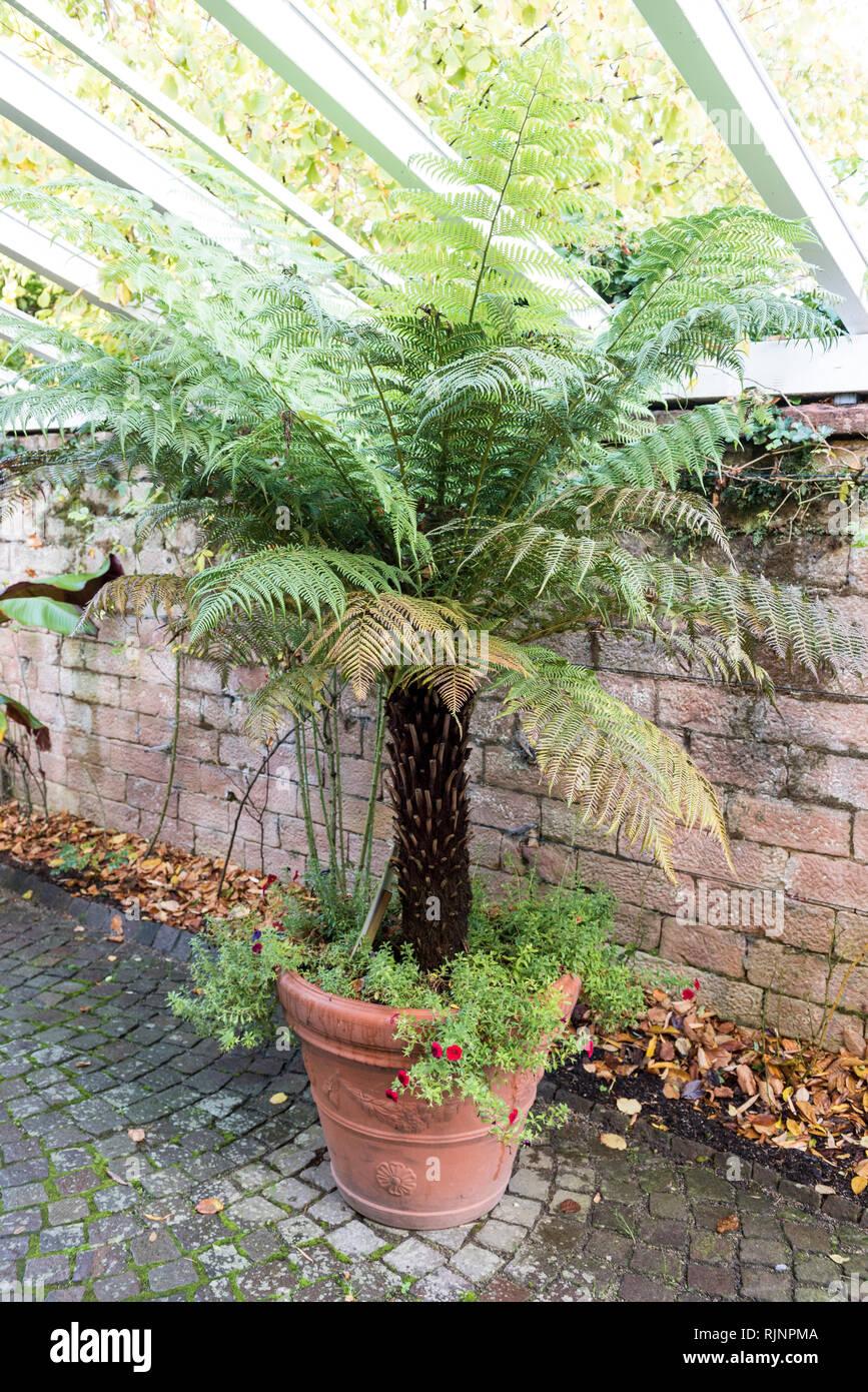 Tree fern in a pot on a garden terrace, autumn, Pas de Calais, France - Stock Image