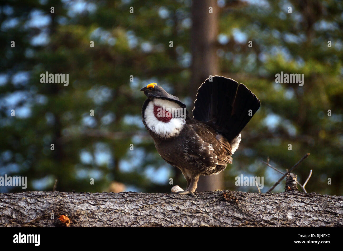 Male dusky (blue) grouse during mating season in spring. Purcell Mountains in the Kootenai National Forest, Montana. Stock Photo