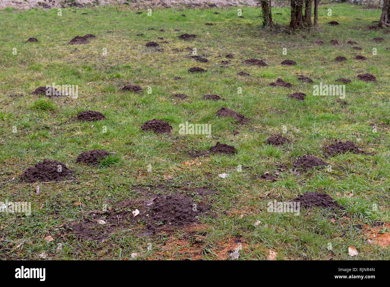 Molehills in a meadow, winter, Moselle, France - Stock Image