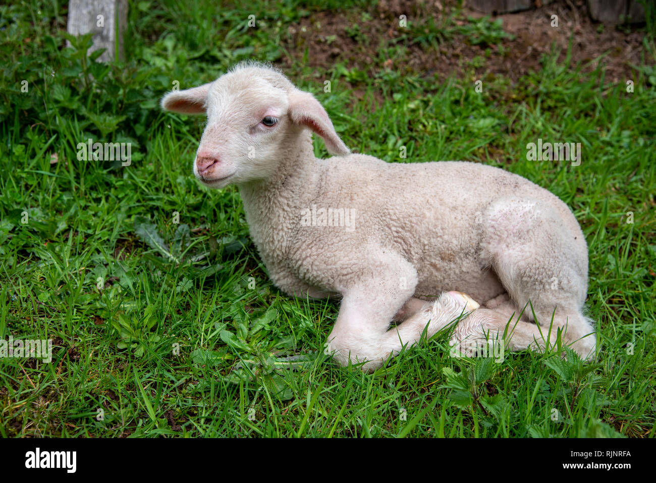 Portrait of lamb in a meadow, Spring, Moselle, France - Stock Image