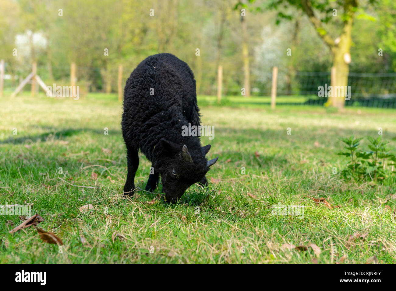 Lamb of Ouessant in a meadow, spring, Somme, France - Stock Image