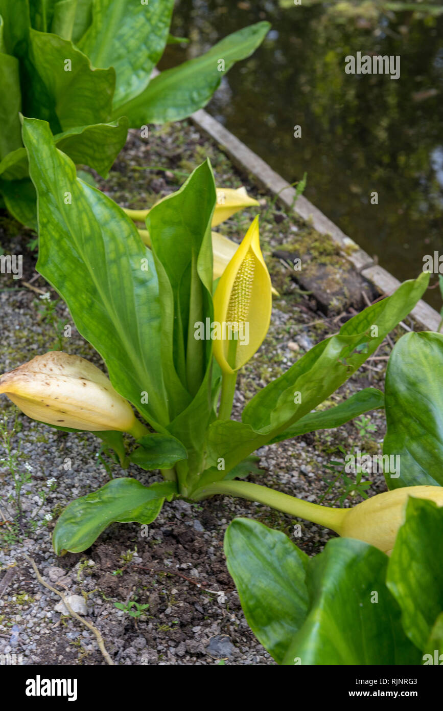 Lysichiton of Kamchatka in bloom in a garden, spring, Somme, France Stock Photo