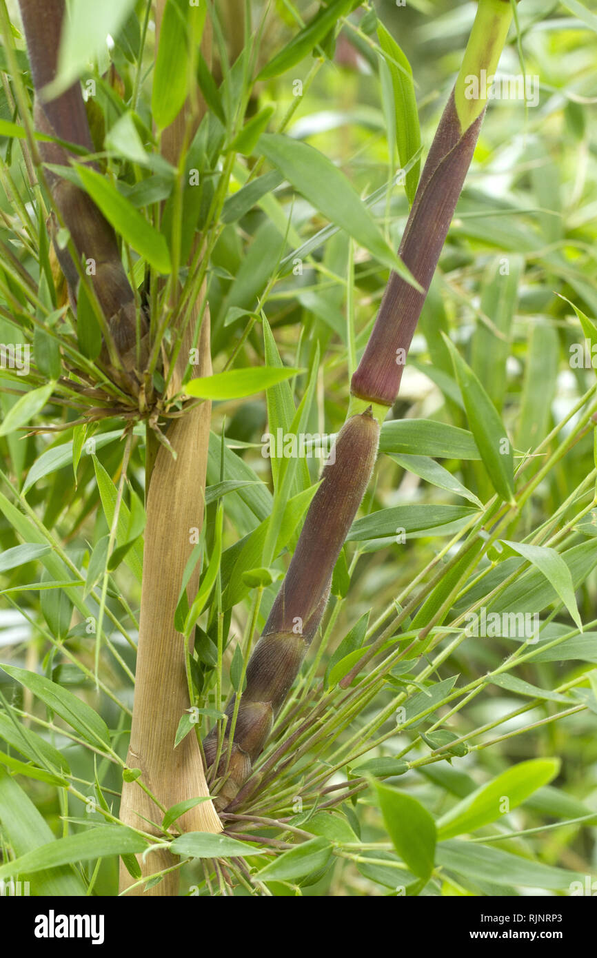 New shoot emerging from a node of Chusquea Bamboo (Chusquea valdiviensis) - Stock Image