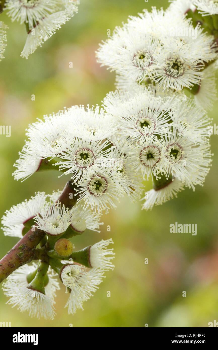 Alpine snow gum (Eucalyptus pauciflora subsp. niphophila) - Stock Image