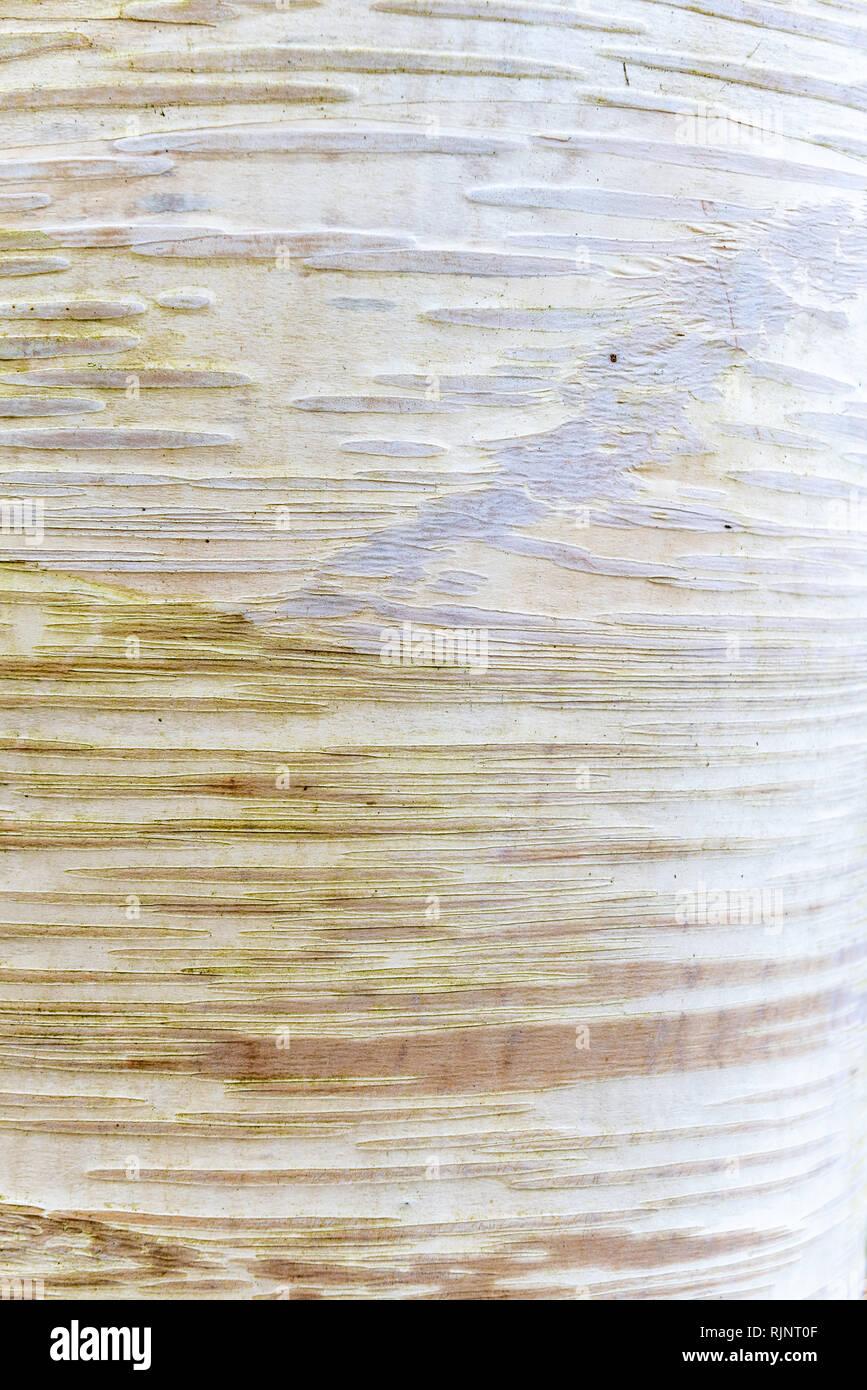 Birch (Betula costata) bark, Somme, Pas de Calais, France - Stock Image