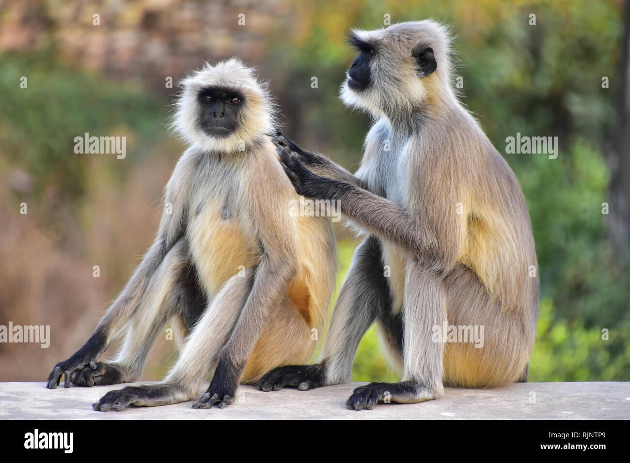 Gray Langur Monkeys, Bundi, Rajasthan, India - Stock Image